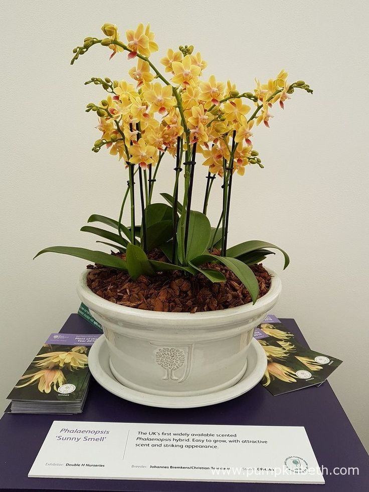 Phalaenopsis 'Sunny Smell. Phalaenopsis are long-flowering plants that make a welcome addition to the home when grown as a house plant, and a super gift.
