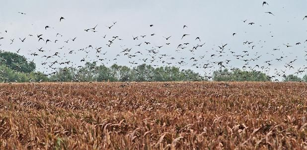 dove hunting texas - Google Search