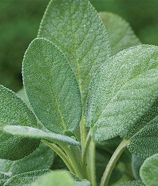 Sage, Common:  Used in sausages, poultry, meat, bread, dressings, vegetables, omelets and stuffing.