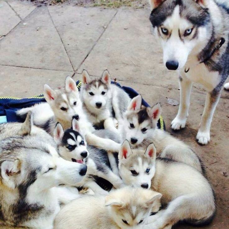 "73 Likes, 2 Comments - Husky Atee (@husky_atee) on Instagram: ""Husky family goals """