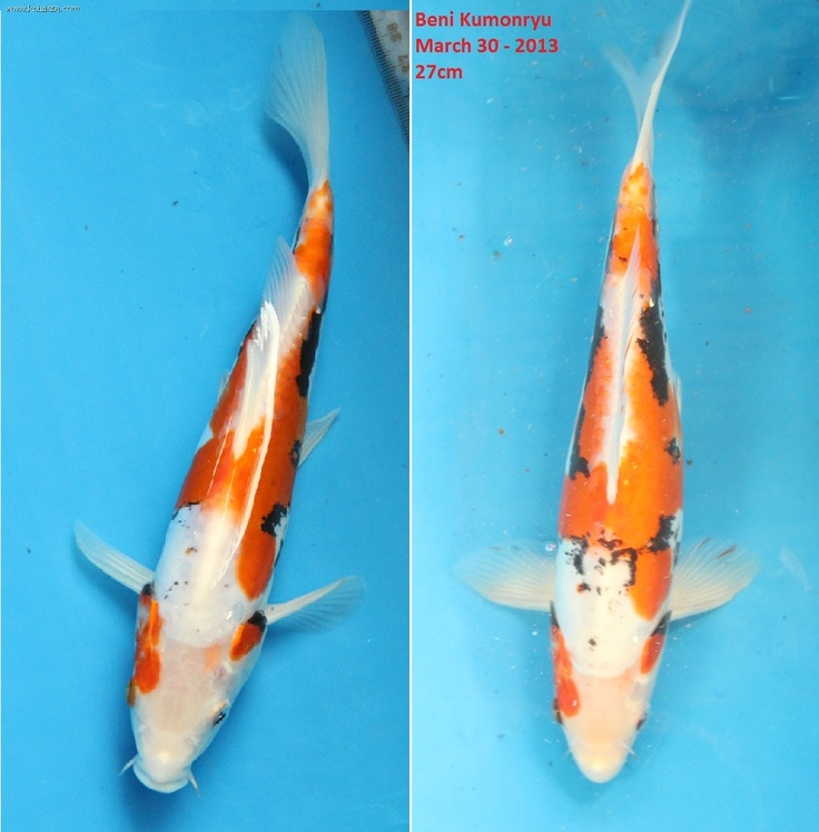 Beni kumonryu development my koi collection pinterest for Kumonryu koi fish