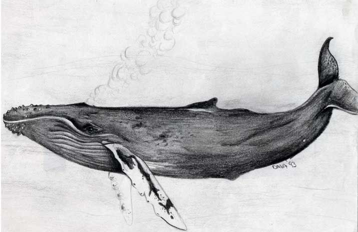 25 Awesome humpback whale drawing images