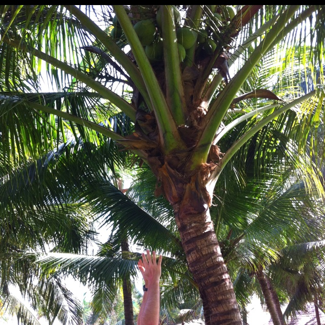 """""""Under the coconut tree..."""""""