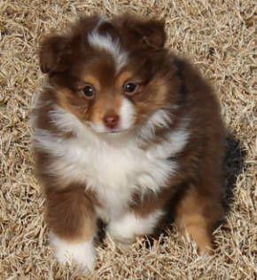 Justa Little Aussie, toy mini australian shepherd, miniature teacup aussie for sale TASAA breeders ASDR puppies for sale nationwide shipping...