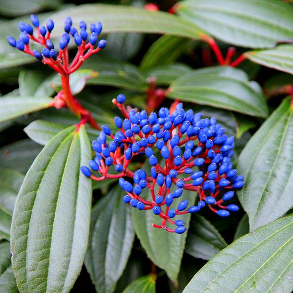 Attractive turquoise-blue berries
