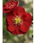 Double Take™ Scarlet Storm Flowering Quince (Chaenomeles speciosa 'Scarlet Storm' P.P.A.F.)
