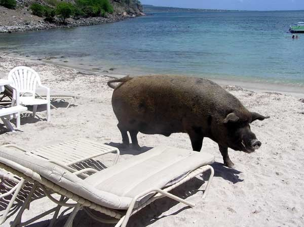 Our Sister Island St. Kitts has the most famous local inhabitant at Reggae Beach Bar. Meet Wilbur - he's world famous :)