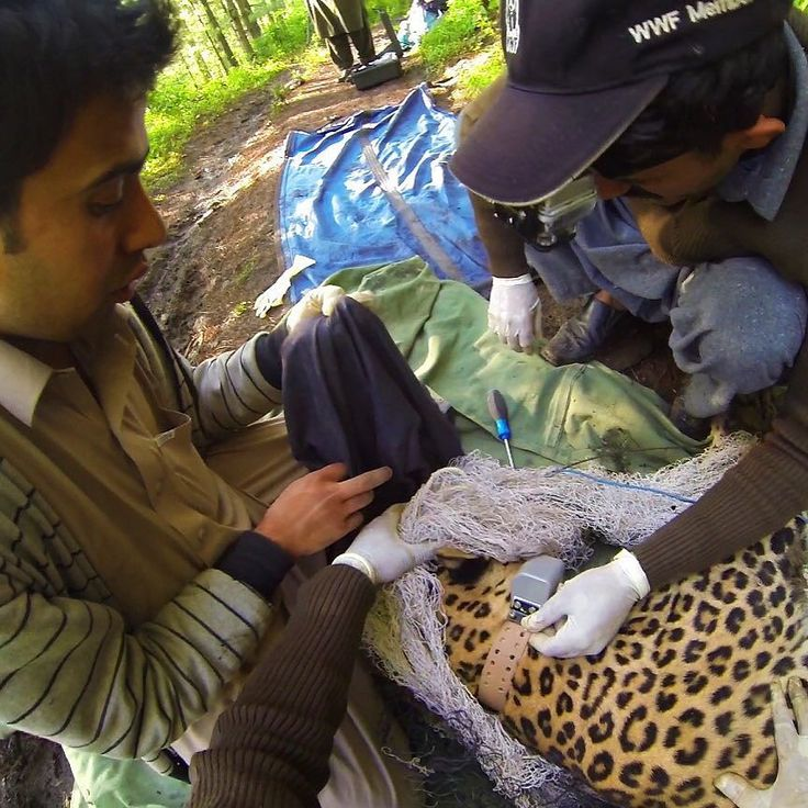 WWF-Pakistan's team at work radio collaring a #commonleopard in #Pakistan  WWF-Pakistan (@wwfpak) initiated the Common Leopard #Conservation Project to protect this critically #endangered #species  #wwfmycity by wwf
