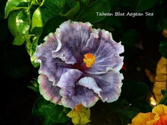 Les 77 meilleures images du tableau Arbre D\'hibiscus sur Pinterest ...