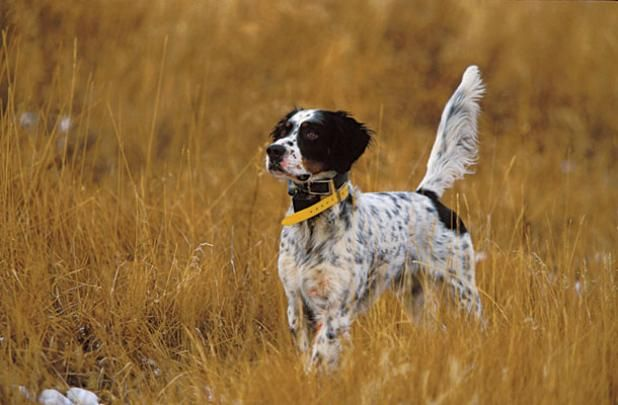 Perfect Hunting Dog: The Best Breed for Your Hunting Style High on both ends, a perfect point!