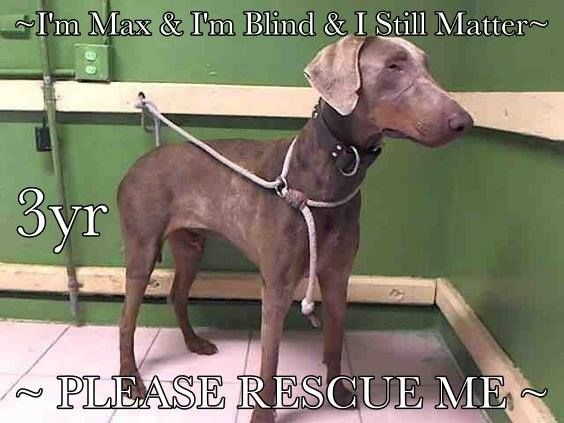 ADOPTED :)) 11/16✿⊱✿⊱✿⊱Carson, CA 3 yr old BLIND MAX-ID #A5009575 -NEUTERED-MALE-DOBERMAN  We Just Met Him But MAX May Be BLIND. His Owner Left Him Today & He Is Pretty CONFUSED But He Has The Most Gentle Energy & The Best Sense Of Smell! He Needs Help Fast, He Doesn't Know What's Happening Or Where He Is. Please Share for His Life, He Needs A TEMPERAMENT TEST Requested IN PERSON By An Interested Party Before The Shelter Will Allow Him To Be Saved. Without This Test Being Ordered He Ca