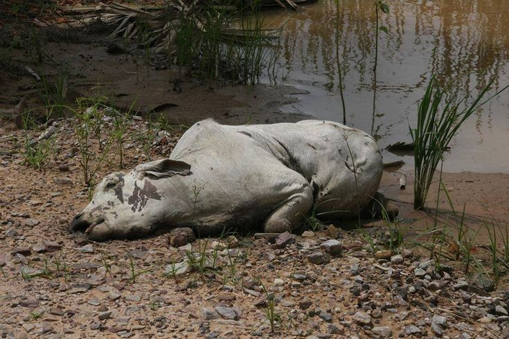 cow killed in floods bolivia #Beni #Bolivia February 2014 Ranchers say 400,000 cattle killed in floods since January 2014