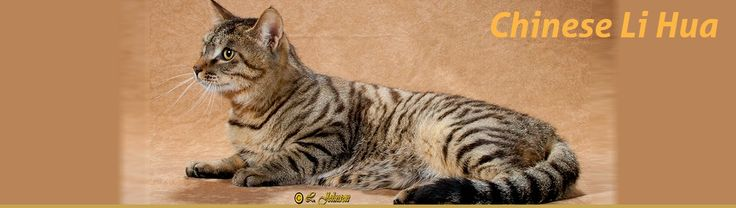 Breed Profile: The Chinese Li Hua The Chinese Li Hua is the newest breed recognized by CFA from China. Its history is scant but it is believed that these cats lived in remote areas in China for centuries.