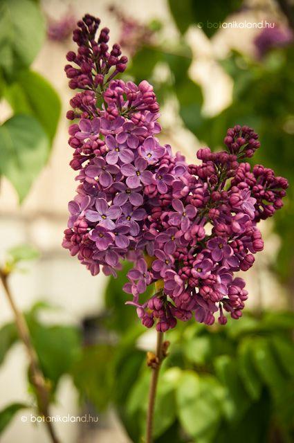 Kerti Orgona (Syringa vulgaris) gondozása, szaporítása (Közönséges Orgona)