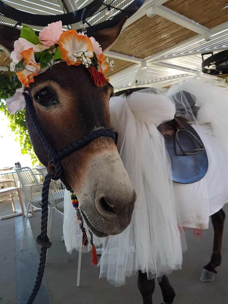 santorinian wedding style! #pyrgosrestaurant #cutedonkey #wedding #santorini