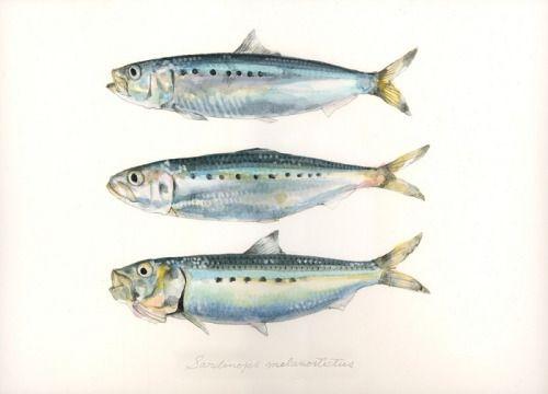 "Sardinops melanostictus / Japanese sardine / ""Maiwashi"" (マイワシ Sardinops melanostictus: uonofu 魚の譜から) #fish #art #illustration #painting #drawing #fishart #fishillustration #fishpainting #fishdrawing #naturalart #naturalillustration #naturalpainting #naturaldrawing #watercolor #aquarium #fishing #uonofu #YuseiNaagashima"