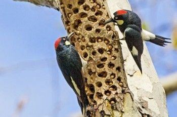 You see birds carrying seeds off from feeders to store them - but where do they go, and how do they find them again? Learn more about this bird behavior.