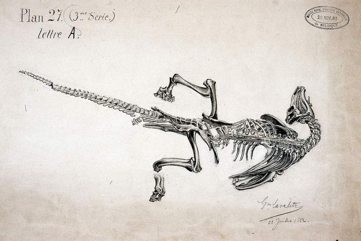Iguanodon from Bernissart, Belgium. I have posted this 1883 plate before, but the The Royal Belgian Institute of Natural Sciences has recently posted 6 more images from this series, showing the 1878 coal mine Iguanodons in death poses, as found.
