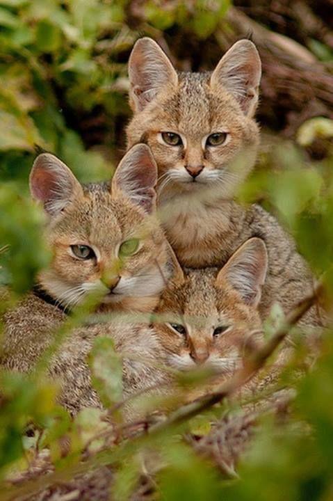 Jungle Cats (Felis chaus)