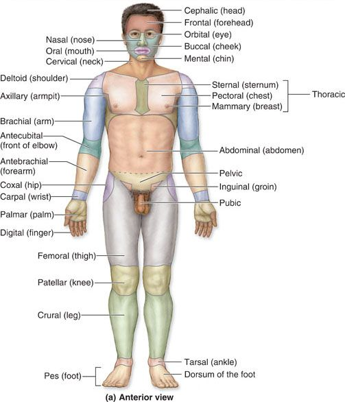 Anatomical Terms for regions of the body, from the front