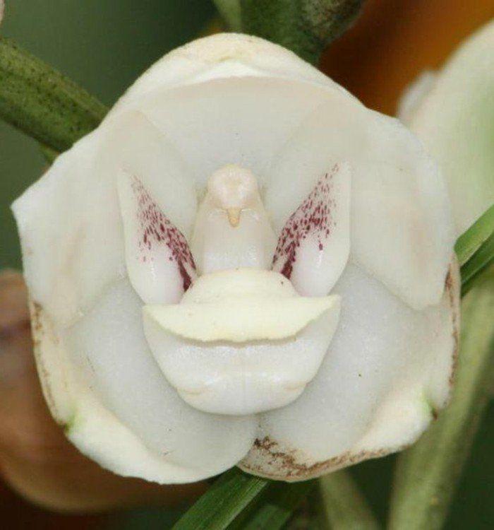 orchidée pigeon blanc