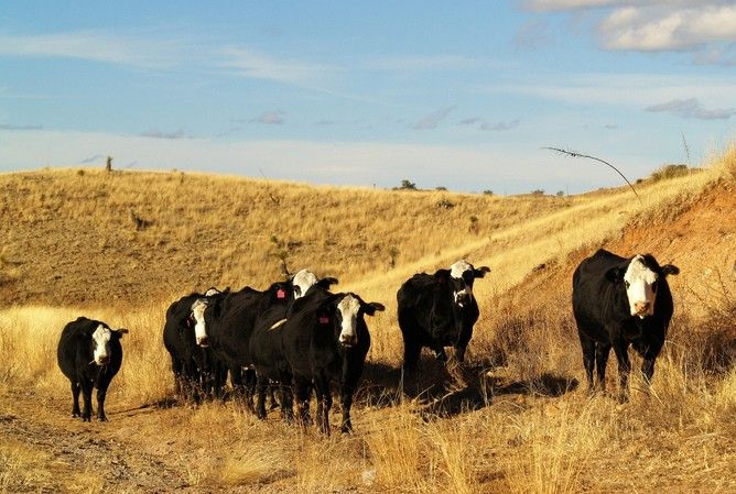 Crops, rodents and grazing cattle – Medium