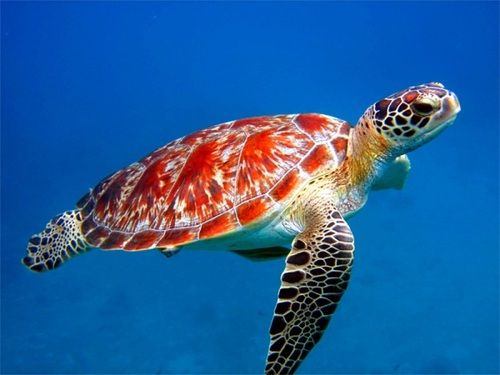 Love the red / orange coloring on this turtle...