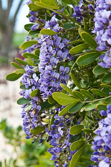 """Texas Mountain Laurel. My name means """"crown of laurels"""" and this tree is one of my favorites. A mountain laurel boutonnière is an interesting way to incorporate canary yellow's complementary color into the wedding, and it would look great on a gray suit with some yellow flowers."""