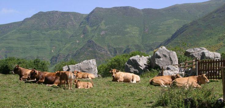 La ternera Asturiana, carne 'roxa' para el mejor cachopo | Comer