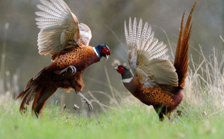 Male pheasants fight for feeding grounds and females. Wildlife photographer Richard Peters who caught the feisty pair on camera on farm land in Hertfordshire said: I couldn't believe how vicious they were. Picture: Richard Peters / Rex Features