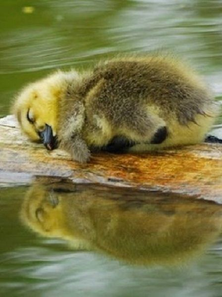 """Duckling: """"Exhaustion just took over..."""""""