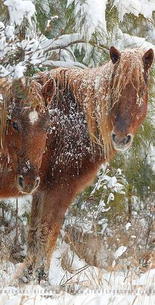 ICING ....    #horse winter snow horses #photo by Michael Rickard