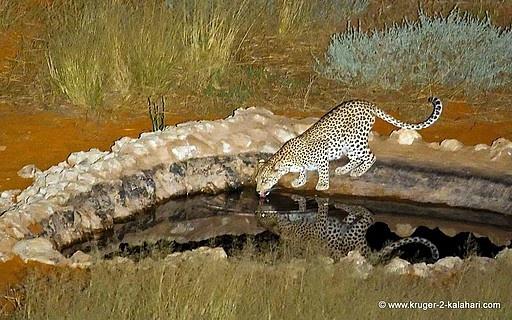 Kgaligadi Transfrontier park. Google Image Result for http://images.travelpod.com/tripwow/photos/ta-009f-3ce4-f9be/leopard-drinking-n1-kgalagadi-transfrontier-park-botswana%2B12829870668-tpfil02aw-23782.jpg