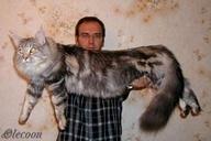 Mancoon cats are big.
