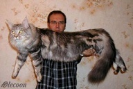 Mancoon cats are big.