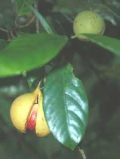 Flora dan Fauna yang Langka dan Dilindungi di Indonesia | Halaman Bacaan Online. Hongi / Saya (Myristica argentea)