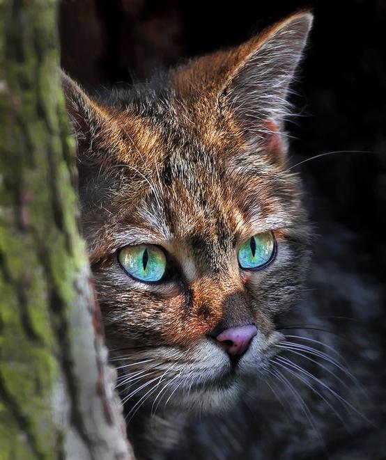 Bluish Grey Cat With Black Stripes