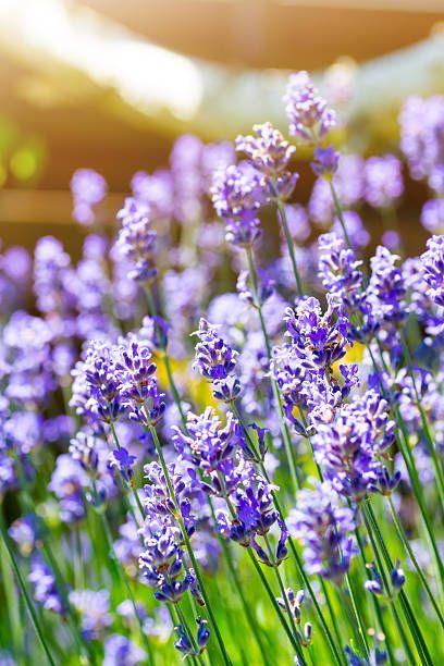 Manojo de hermosas flores de lavanda en la luz del sol de Francia - foto de stock