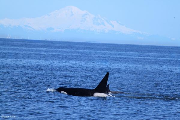 #Orca #British Columbia #travel #Mountbaker #blue #nature