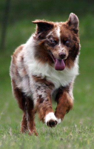 Red Merle Australian Shepherd Puppy Dog Dogs Puppies shepherds aussie