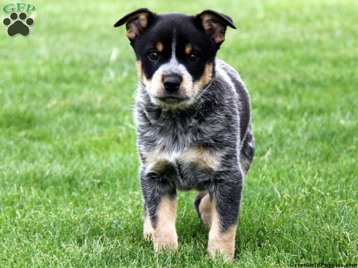 blue heeler mix Google Search Australian cattle dog