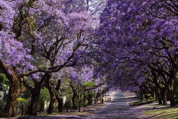 Jakarandas in full bloom, Pretoria, South Africa.