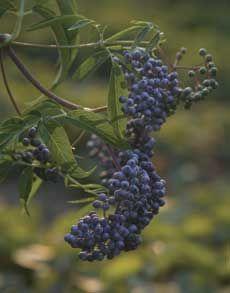 How to make Elderberry juice.