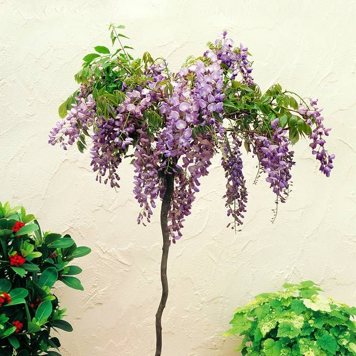 Standard Wisteria sinensis Tree - 1 tree Buy online order yours now