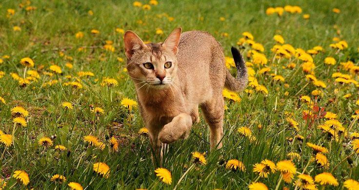 las-razas-de-gatos-mas-grandes-del-mundo.jpg (1000×529)