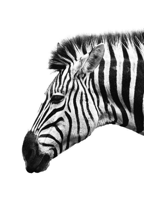постеры зебра фото всего сердца порадовались
