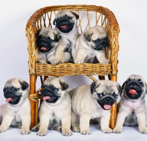 a pugs dating Pugs are an ancient breed, dating back to the shang dynasty of china in the years 1766 through 1122 bc they were kept as pets by tibetan monks before being exported to japan, and then later to europe.