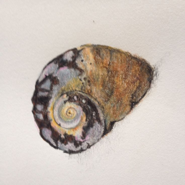 "Lisa McGregor : Shell  colored pencils on 160gsm paper 4""x4"""
