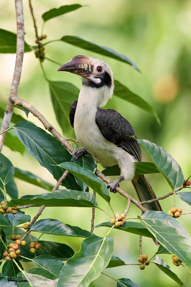 Luzon Hornbill (Penelopides manillae, a Philippine endemic, male) Habitat – Forest and edge up to 1500 m.