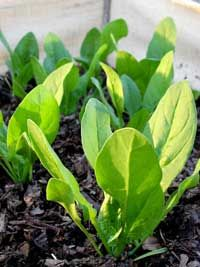 A lush bed of garden spinach will bring joy to any gardener, but spinach planting dreams don't always come true. In my experience, the biggest challenge comes up front, when you want spinach seeds to germinate all at once, like little soldiers.